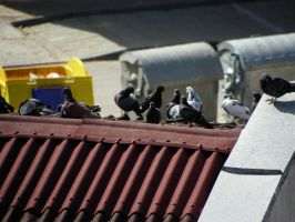 Pigeons 1 by valsomir