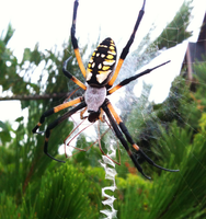 Argiope and Harvestman by Cryophase