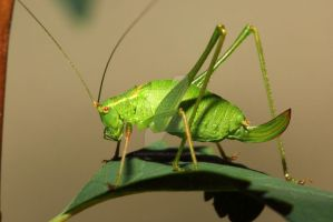 Speckled Bush Cricket-002 by swissnature