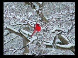 Brilliant Cardinal in Winter by revack