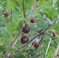 Gooseberries 4 by Kattvinge