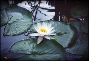 White Water Lily by vojis