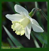 Narcissus by Sandgroan
