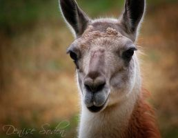 Guanaco by DeniseSoden
