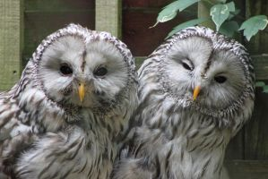 Ural Owls 1 by Skarkdahn