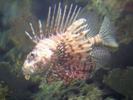 Lionfish 2 by harbinger-stock
