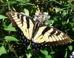 E. Tiger Swallowtail., by duggiehoo