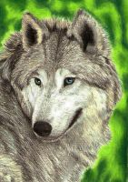 Wolf - ACEO by Sofera