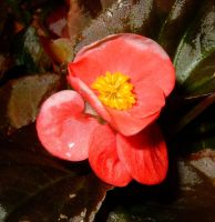 BABY BEGONIA OR JUST ANOTHER OUT OF PHOCUS PHLOWER by AudraMBlackburnsArt