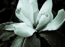 Magnolia, just after the rain by FreeForms