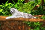 White tiger by MotHaiBaPhoto