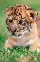 cub by Ginger11389