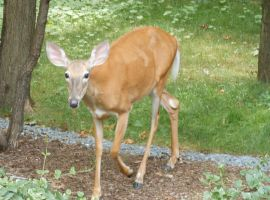 Deer in my backyard by 68cupcake