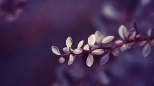 barberry. by Altingfest