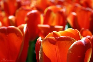 Orange Tulips by KhAoTiC-x83
