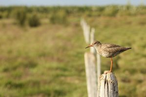 Redshank by spartout