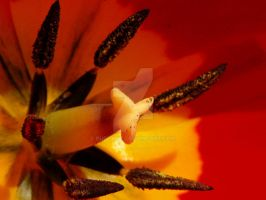 Red Tulip Macro by Puppykit