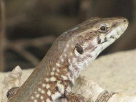 Maltese Wall Lizard Close Up by Maltese-Naturalist