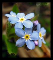Forget-Me-Nots by Jenna-Rose