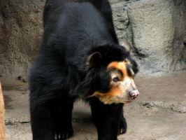 Spectacled bear 1 by firitheryn