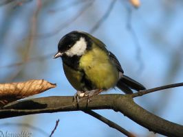 Great tit birthday's song by Momotte2