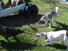 Dog Tug-of-War 2 by animalstock