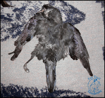 Grade B Jackdaw Skin FOR SALE by EternalEmporium