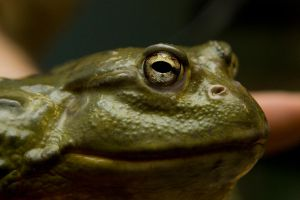 Giant frog by poisonous