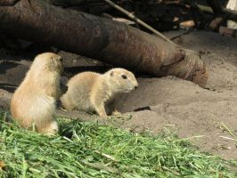young Marmot 16 by mrscats