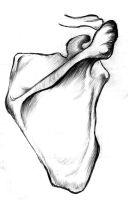 sketch No.15: Scapula back side by Wilwarin-Blueberry