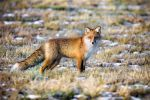 Fox II by sampok