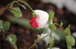 Frozen.Rose by DominikJPhotography