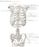Rib Cage Anterior View by DCCourtJester