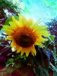 Sunflower Groove by Misquel