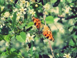 beautiful butterfly by Immoso
