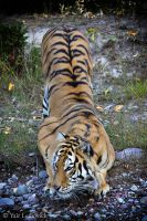 crouching tiger by Yair-Leibovich