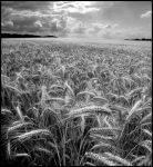 Fields of Gold b+w... by MichiLauke