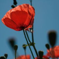 Poppies by dolcesunset
