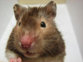 Mantie the Hamster by AndromedaRoach
