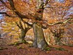 "Ancient beech trees in fall, ""Hutewald Halloh by zeitspuren"