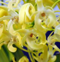 Bouquet of yellow orchids by fosspathei