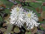 Fothergilla Blooms by AWDesignsPhotography