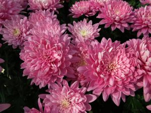 .rose-colored chrysanthemums. by Foozma73