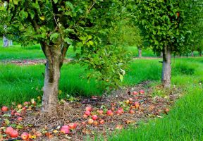 Autumn In The Apple Orchard by MissSpocks
