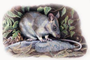Giant Pouched Rat by WillemSvdMerwe