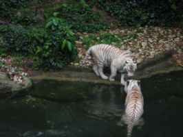 White Tigers by SoCoPhDPepper