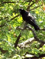 Crow by Tails-155