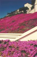 Flowers In Front Of My Hotel Near LA by SrTw