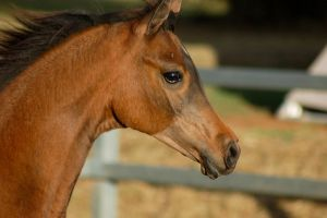 JA Arab bay yearling neck and head close up by Chunga-Stock