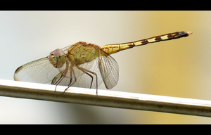 dragonfly by melrose86
